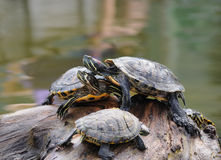 Water turtles. Couple of water turtles on piece of wood in the middle of pond Royalty Free Stock Image