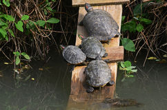 Water turtles. Under the sun in the marsh Royalty Free Stock Photos