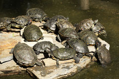 Water turtles Royalty Free Stock Photo