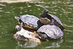 Water turtles Royalty Free Stock Photos