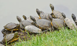 Water turtles family. Family of water turtles in the marsh Royalty Free Stock Image