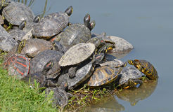 Water turtles family Royalty Free Stock Image