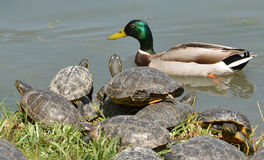 Water turtles and male mallard. Water turtles meets male mallard Royalty Free Stock Photos