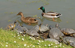 Water turtles and mallards. Water turtles meets mallards couple Royalty Free Stock Image