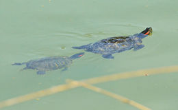 Water turtles mother and son Royalty Free Stock Images