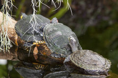 Water turtles Stock Image