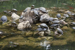Water turtles stock images