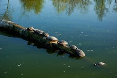 Water turtles. Sitting in line Stock Images