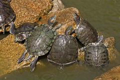 Water turtles sunning on rock Royalty Free Stock Image