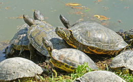 Water turtles under the sun Royalty Free Stock Image