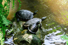 Water turtles with a yellow spot Royalty Free Stock Images