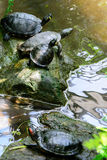 Water turtles with a yellow spot Royalty Free Stock Photo