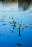 Water vegetation Royalty Free Stock Photography