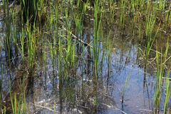 Water, Vegetation, Wetland, Grass Family royalty free stock photos