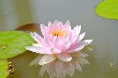Sweet pink lotus flower blossom in a pond with green leaves royalty free stock photography