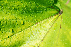 Water on vine leaf. Close up of water drops on a bright lime green vine leaf Stock Photos