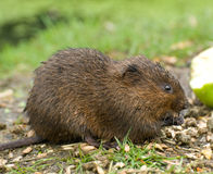 Water Vole Royalty Free Stock Photography