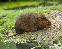 Water Vole Stock Photography