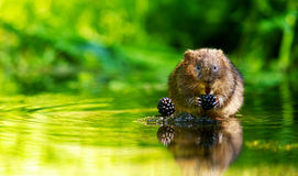 Free Water Vole Stock Photography - 58270682