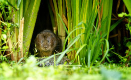 Free Water Vole Stock Image - 58270701