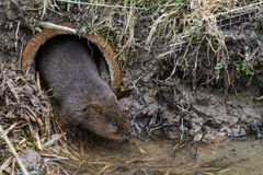 Water Vole Stock Image