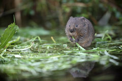 Water vole, Arvicola terrestris Royalty Free Stock Photography