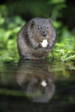 Water vole, Arvicola terrestris. By water Stock Photography