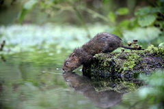 Water vole, Arvicola terrestris Royalty Free Stock Images