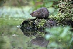 Water vole, Arvicola terrestris Royalty Free Stock Photos