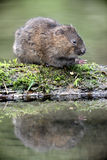 Water vole, Arvicola terrestris Stock Photos