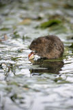 Water vole, Arvicola terrestris Stock Photo