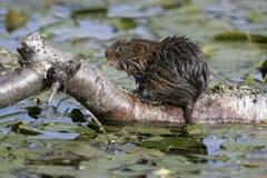 Water vole, Arvicola terrestris Royalty Free Stock Photo