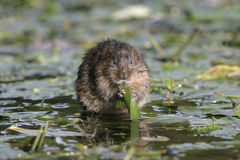 Water vole, Arvicola terrestris Stock Photography