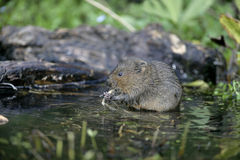 Water vole, Arvicola terrestris Stock Images