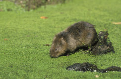 Water vole,  Arvicola terrestris,. Single mammal by water Royalty Free Stock Images