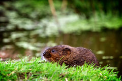 A water vole on a bank. A small water vole on a river bank Stock Images