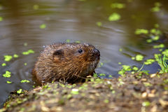 A water vole on a bank. A small water vole on a river bank coming out of the water Stock Photography