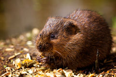 A water vole on a bank. A small water vole on a river bank eating Stock Photos