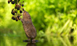 Water vole blackberry picking Royalty Free Stock Photo