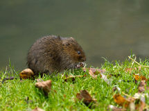 Water Vole Eating Stock Photography