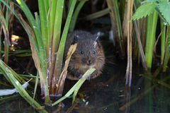 Water Vole Royalty Free Stock Image