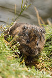 Water Vole Kit Stock Photography