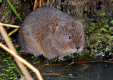 Water Vole by the river Stock Photos