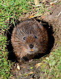 Water Vole on the riverbank Stock Photography