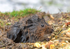 Water Vole sitting on bank Stock Image