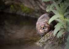 Water vole walking along bank Stock Photography