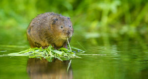 Water vole Stock Photo