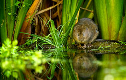 Water vole Royalty Free Stock Photo