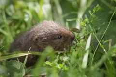 Water Vole Royalty Free Stock Images