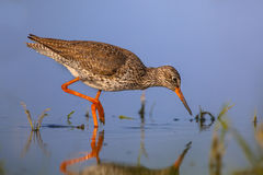 Water wading Common Redshank Royalty Free Stock Images
